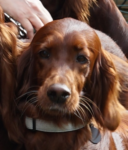 Irish Setter Hündin Faith
