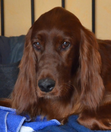 Irish Setter Damaris